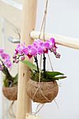Pinke Phalaenopsis in Kokosschale als Ampel