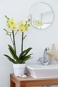 Phalaenopsis 'Alassio'