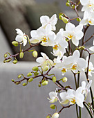 Phalaenopsis 'White Willd Orchid'