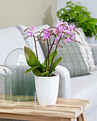 Phalaenopsis 'Pink Willd Orchid'