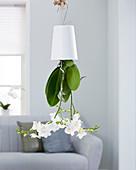 Phalaenopsis 'Snowflake'