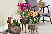 Topf Arrangement mit Phalaenopsis in verschiedenen Farben