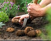 Begonienknollen ins Beet einpflanzen