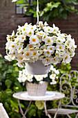 Begonia 'Sunny White' ®