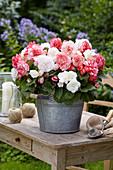 Begonia Wummi Mix 'Apfelblüte', 'Marmorata'