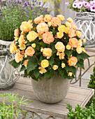 Gelb-apricotfarbene Begonie '11 122 4' im Topf