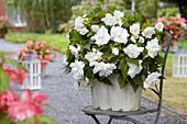 Begonia 'Giant Pendula White'