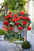 Begonia 'Giant Pendula Scarlet'