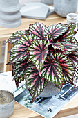 Begonia rex 'Revolution Painter's Palette'