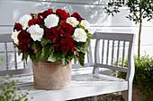 Begonia Double 'Dark Red' 'White'