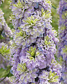 Delphinium 'Highlander ® Crystal Delight'