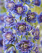 Delphinium 'Highlander ® Sweet Sensation'