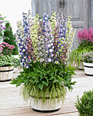 Delphinium 'Highlander ® Mix'