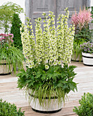 Delphinium 'Highlander ® Morning Sunrise'