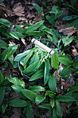Wild garlic being picked