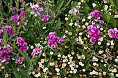 Staudenwicke und Spanisches Gänseblümchen 'Blütenmeer'