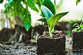 Seedlings in soil