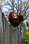 A cockerel on a wooden fence