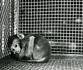 Harlow's monkey experiment