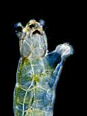 Chironomid larva, LM