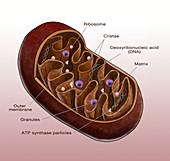 Mitochondrion, Illustration