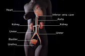 Urinary System Female Torso Labelled