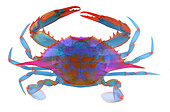 Blue Crab, X-ray