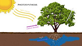 Photosynthesis, Illustration