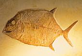 Gyrodus Fish Fossil