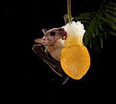 Cave nectar bat pollinates flower
