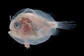 Larval Frogfish