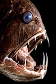 Deep Sea Fangtooth