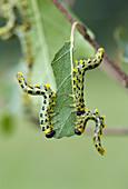 Dusky Birch Sawfly Larvae