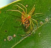 Green Magnolia Jumping Spider