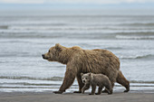 Brown Bears, Mother with Cub