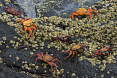 Sally lightfoot Crabs and Barnacles on Lava