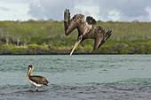 Brown Pelican Diving