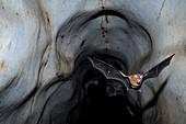 Horseshoe Bat leaving Cave