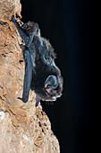 Large-eared Pied Bat (Chalinolobus dwyeri)