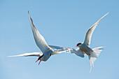 Arctic Tern (Sterna paradisaea)