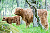 Highland Cattle (Bos primigenius)