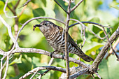 Shining Bronze-Cuckoo (Chalcites lucidus)
