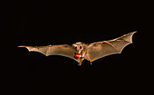 Little epauletted fruit bat with fig