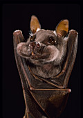 Little epauletted fruit bat with figs