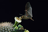 Lesser long-nosed bat pollinating Saguaro cactus