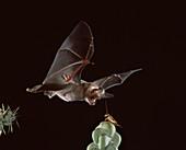 California leaf-nosed bat catches cricket