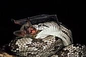 Southern myotis eaten by grey rat snake