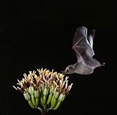 Mexican long-tongued bat at agave