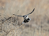 Loggerhead shrike (Lanius ludovicianus)
