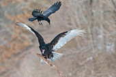 Turkey Vulture mobbed by crow